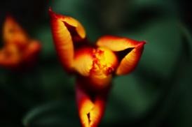 tulipano252321